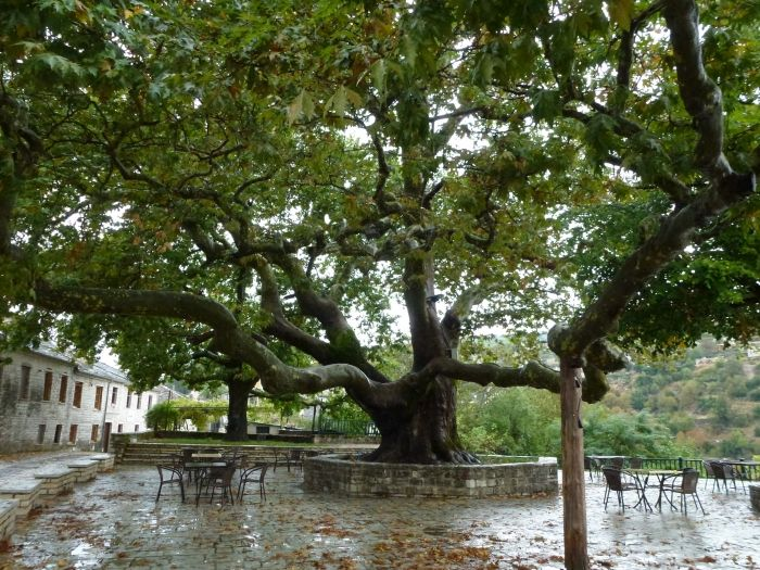 Plane tree on a rainy day