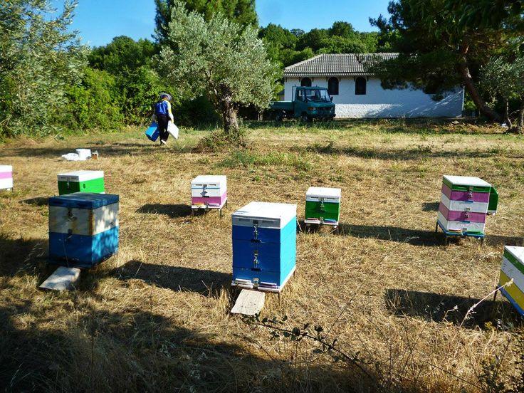 Το μελισσοκομείο στα όρη του Βάλτου, Αιτωλοακαρνανία, στις βελανιδιές. Our Apiary on mountain range of Pindos in northern Greece. Bees collect oak honeydew.