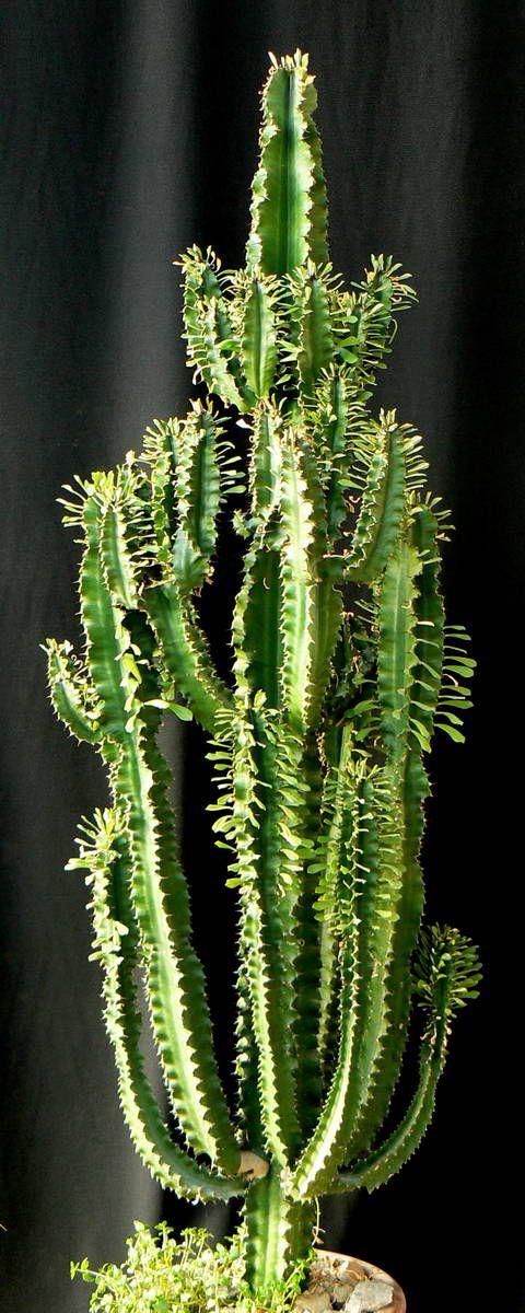 Kuentz : Soin des euphorbes arborescentes Euphorbia erythraeae
