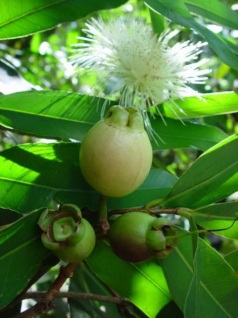 Rose apple ( Syzygium jambos Alston)
