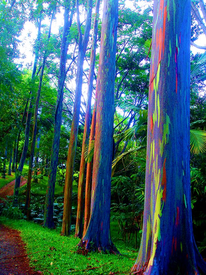 The Rainbow Forest Of Eucalyptus In The Philippines In