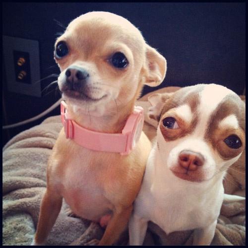 Lol!: Adorable Animal Pet, Heart Chihuahua, My Chihuahua, Leave, Head Chihuahua, Chihuahua Obsession, Baby Dogs, Chihuahua Apples Head, Things Chihuahua