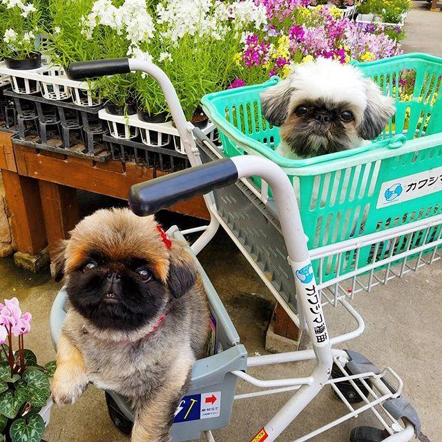 仕事、サボってコソコソ投稿  ちょっと前のだけど  親ビンに叱られないかドキドキしながらもまた楽しい😁  #カワシマ園芸 #カワシマ種苗 #しがトコ  #植物と暮らす  #植物にに触れる #植物のある暮らし  #お花屋さん  #大好きな園芸店 #植物 #愛犬 #愛猫 #lovepet #lovedog #petdog #lovecat #petcat #pet #mypet #prince #プリンス #プリンセス #princess #花が好き #花が好きな人と繋がりたい #写真好きな人と繋がりたい #ファインダー越しの私の世界