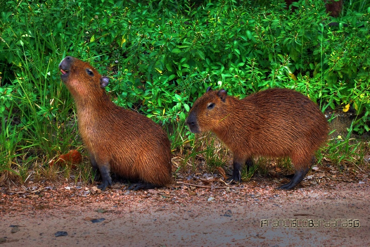 Capibaras.