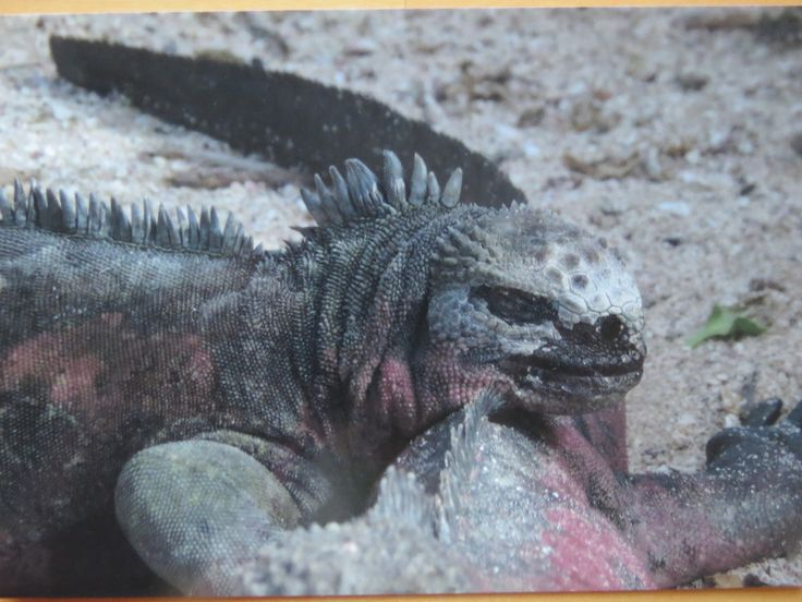 moo card with my own photo, marine iguana in the Galapagos - SENT TO RUSSIA  November 2017