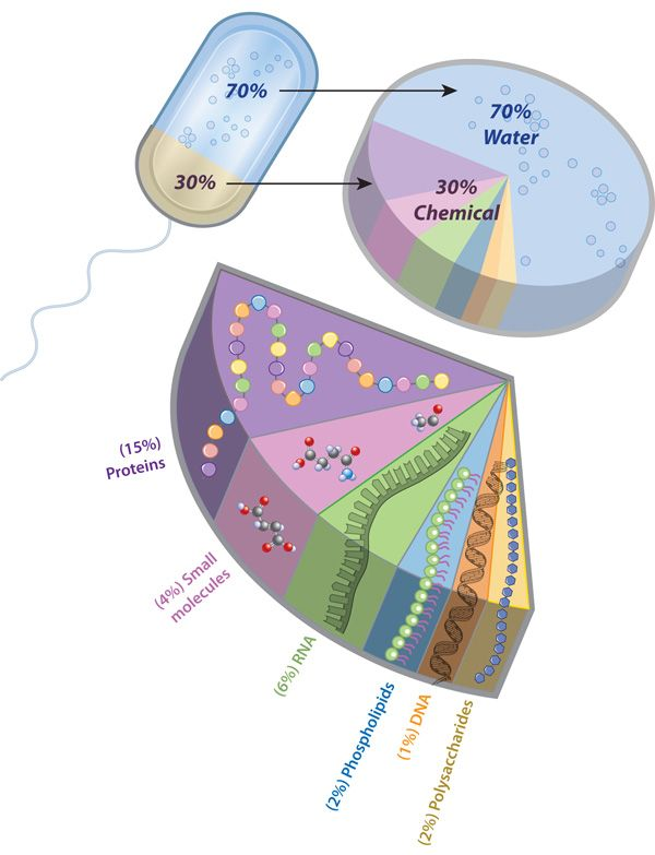 A pie slice diagram shows the proportion of water to typical a pie slice diagram shows the proportion of water to typical chemical components in a bacterial cell each chemical component is color coded and is labeled ccuart Image collections