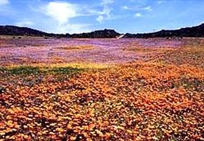 Namakwa's flowers