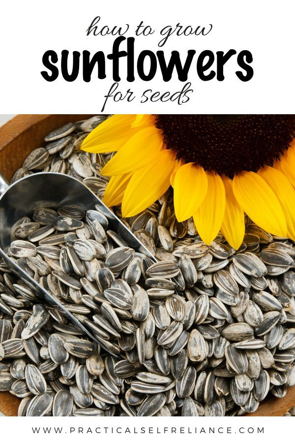 How To Grow Sunflowers For Seeds In 2020 Growing Sunflowers Planting Sunflowers Harvesting Sunflower Seeds
