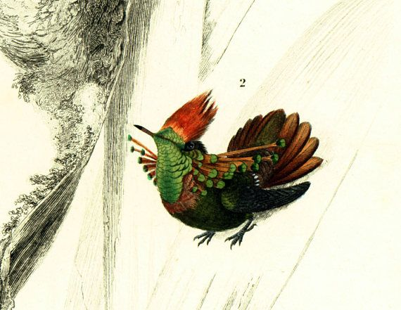 AUTHENTIC 1800s hand colored lithograph.  Taken from the Dictionnaire Universel d'Histoire Naturelle, a publication directed by the french naturalist Charles Henry Dessalin... #orbigny #hummingbird #ornithology
