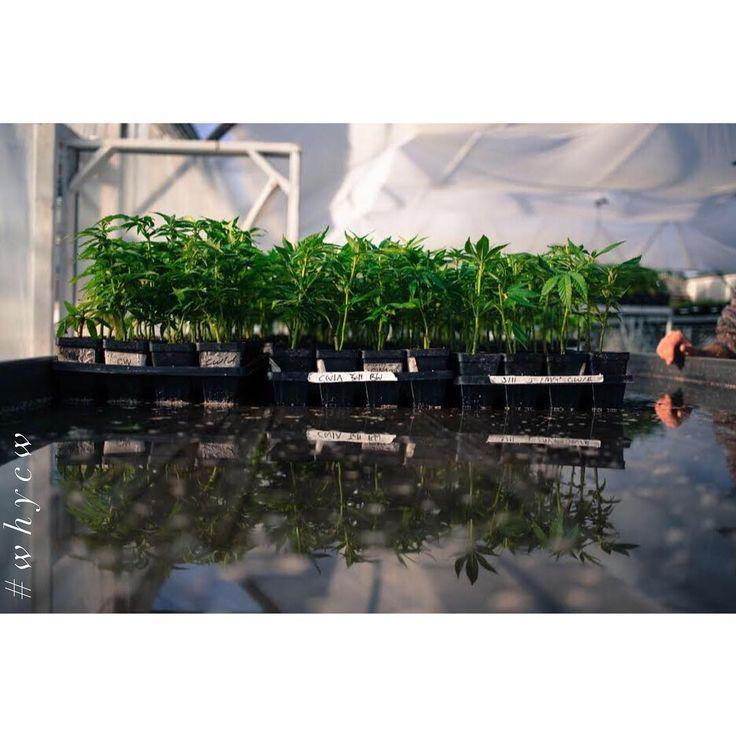 Hemp- Natures miracle crop #WhyCW #Hemp #Cannabinoids #Healthy #ImproveYourLife #CharlottesWeb