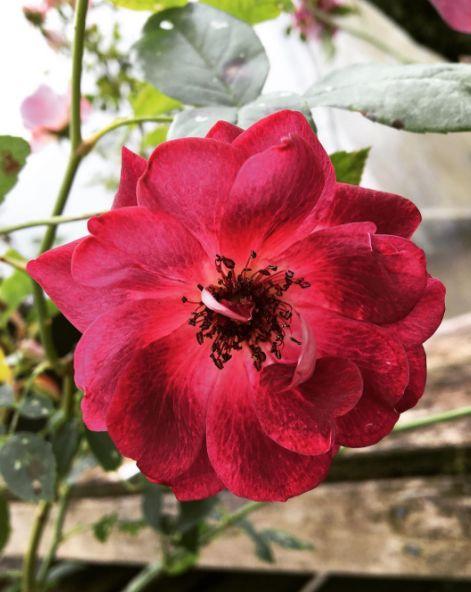 Rose - Burgundy Iceberg #rose #roses #shrub #pink
