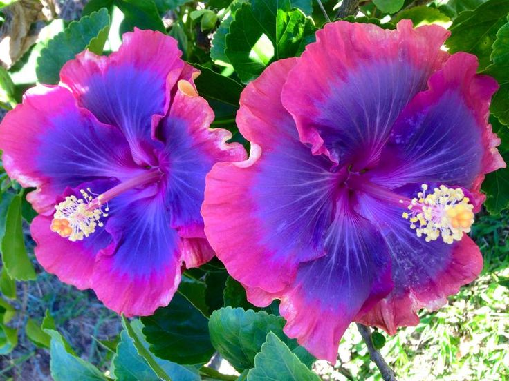 the  best hibiscus flowers ideas on   hawaii flowers, Beautiful flower