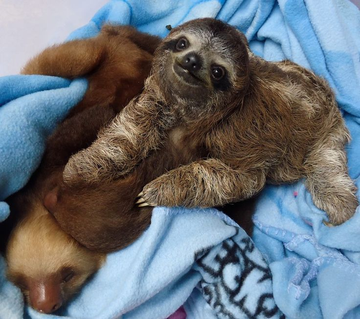 Pin by Aline Dutra on Sloths Cute sloth, Baby sloth