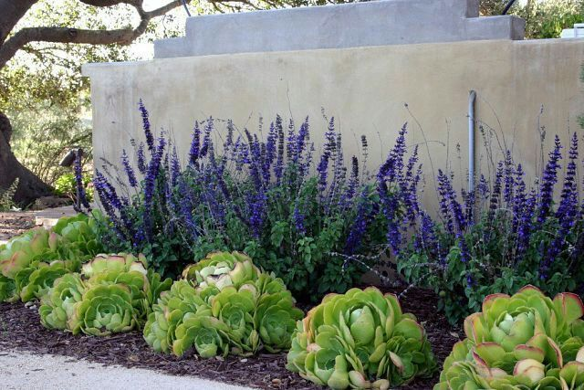 How to create a waterless garden. Allium 'Millenium' and Salvia May Night will give your landscape a pop of purple while Salvia 'Raspberry Delight' will add red accents to your garden and Amsonia, blue.