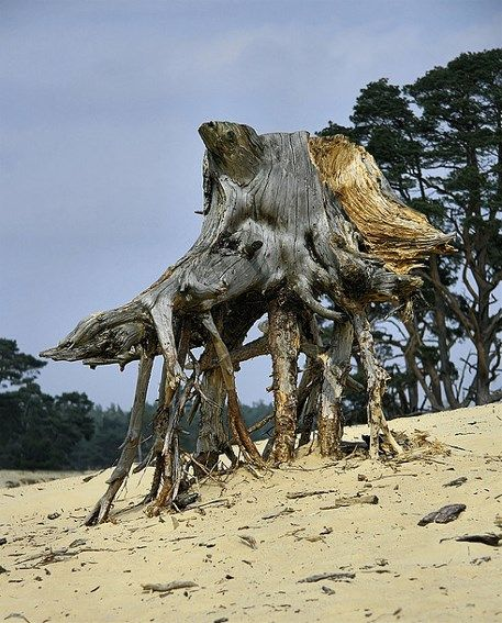Bare tree roots support the dead stump in De Hoge Veluwe National Park, Otterlo, Netherlands