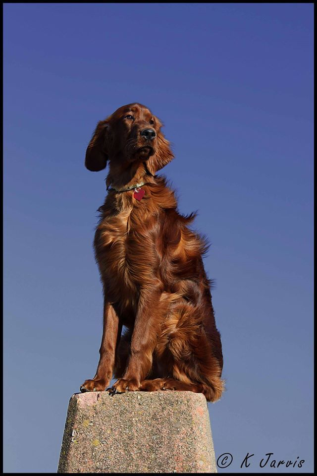 Irish Setter. Ken Jarvis. I am the king of the world.