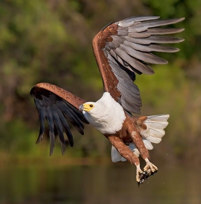 Picture of a fish eagle.