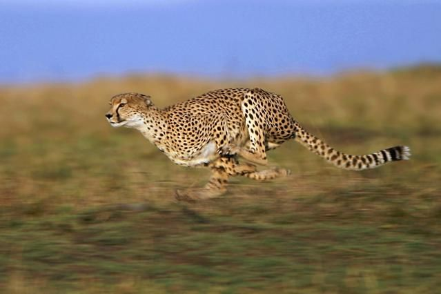 Animals: Key Characteristics: Most animals are capable of movement. Cheetahs, the fastest terrestrial vertebrate, take this ability to the extreme.