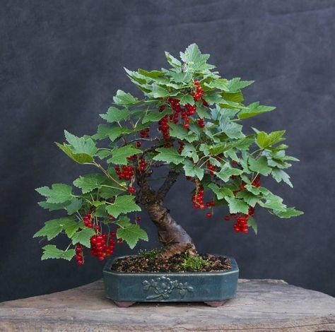 Red currant bonsai✖️More Pins Like This At FOSTERGINGER @ Pinterest✖️