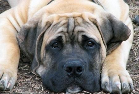 "I want a ""Bexley"". South African Boerboels and Yorkies are by far my favorite dogs no matter the size difference."