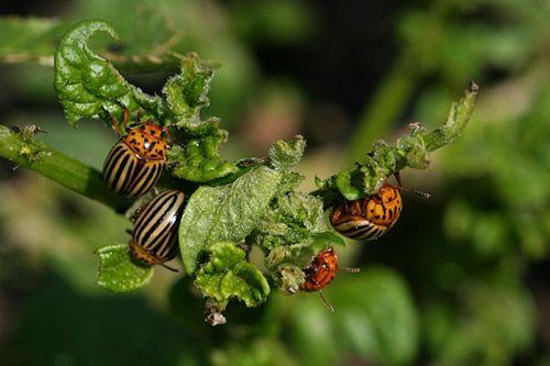 Как избавиться от колорадского жука народными средствами