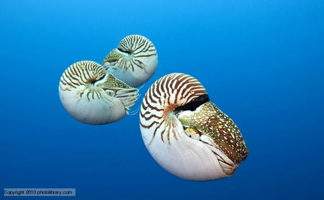 Nautiluses are an order of cephalopods that live between 100 to 300 metres down in the ocean. Nautiluses have changed very little during the last 500 million years or so, and where there were once hundreds of species there are now only six that remain today. The nautilus' coiled shell has a series of chambers filled with gas, into and out of which it can pump fluid when it needs to dive or ascend. These shells show some of the most amazing spirals in nature.