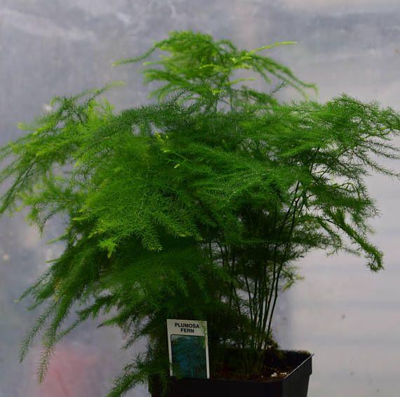 Plumosa Fern Asparagus Plumosus Easy To Grow Etsy Asparagus Fern Ornamental Plants Climbing Plants