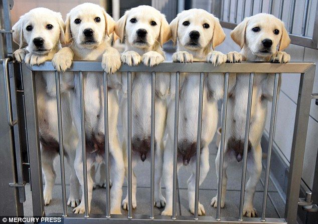 It S Bark To School For The Puppies Learning To Become Guide Dogs