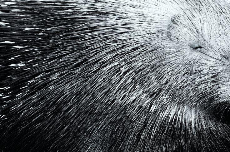 Infinite porcupine by Roman Kozhukhov on 500px #BW #Black and white #abstract #animal #animals #porcupine #sleep