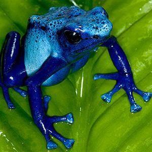 Poison Frog | San Diego Zoo Animals