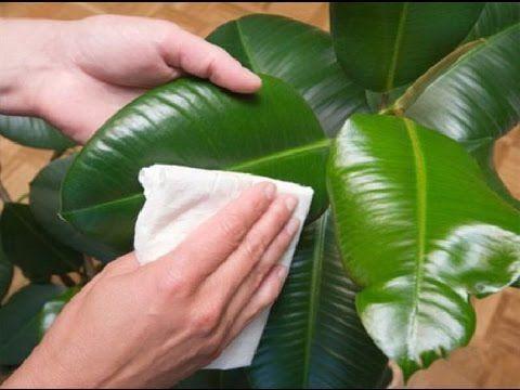 Как самому сделать полироль для комнатных растений