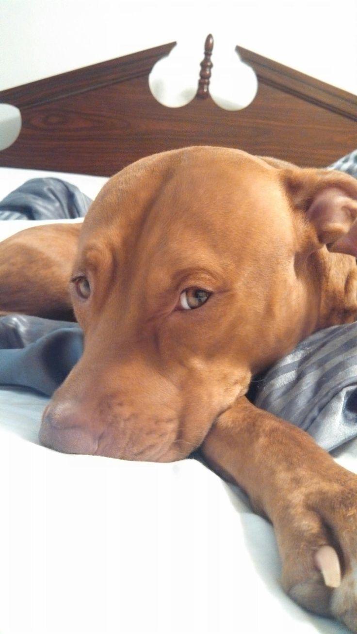 Ella - red nose #pitbull