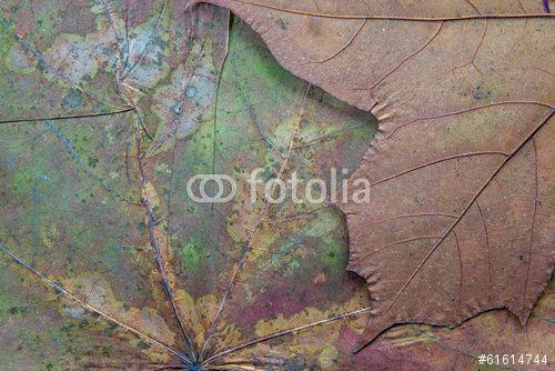 """Pobierz zdjęcie royalty free  """"texture of the dried maple leaf"""" autorstwa malven w najniższej cenie na Fotolia.com. Przeglądaj naszą bazę tanich obrazów online i odnajdź doskonałe zdjęcie stockowe do Twoich projektów reklamowych!"""