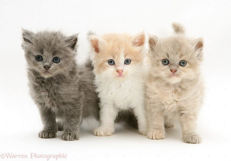 ... Kittens For Sale Cats And ... | Cats | Pinterest | Cats, Baby kittens