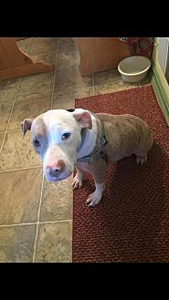 Pit Bull Terrier Mix Dog for adoption in New York, New York - Tinsley