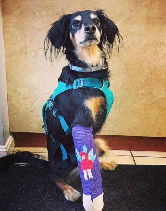 How The Flagline Harness Works For Front Leg Tripawd Dogs Dogs