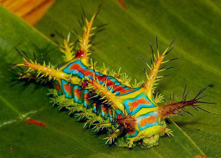 """This is the caterpillar form of the moth Calcarifera ordinata, also known as the wattle cup caterpillar.  They're found throughout northern Australia, south to Geraldton, Alice Springs and Brisbane.  The adults are creamy brown with lines of brown dots on the forewings, and have a wingspan of about 30mm.  The caterpillar has an incredibly painful sting, which is described as """"worse than three wasp stings""""."""