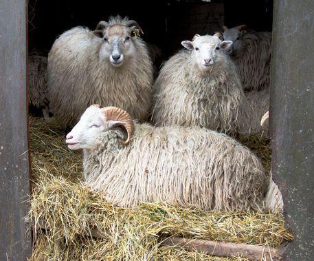 'Schafe' von Rolf Peter  Ebenau bei artflakes.com als Poster oder Kunstdruck $15.68