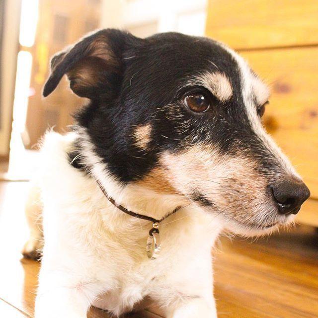 朗報です‼︎ ※ ※ 今回、犬猫の譲渡活動を行っているOMUSUBIという企業様と迷子札の普及活動を行うことが決定しました‼︎ ※  譲渡の際に迷子札を配布することで、犬を家族として迎え入れる時点で大事な迷子札をつけてもらえる素晴らしい内容です‼︎ 応援よろしくお願い致します‼︎ ※ 詳細はプロジェクトの新着情報に書かせていただきましたので是非ご覧ください‼︎ ※ プロジェクトの詳細URLは僕のプロフィールからお願い致します‼︎ ※ ※ ※ #ジャックラッセルテリア #ジャックラッセル#愛犬 #ワンコ #jrt #ペット#じゃないよ#家族#だよ#犬バカ#犬バカ部#いぬ#イヌ#犬##犬のいる暮らし#犬部#トイプードル#チワワ#柴犬#ダックスフンド#シュナウザー#ヨークシャテリア#ブルドッグ#フレンチブルドッグ#パグ
