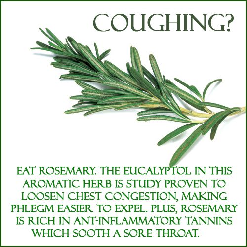 Rosemary is brilliant if you have a bad cough, you can either chew the plant raw, or you can steep a few sprigs in a cup of boiling water for 15 minutes and drink it as a tea. For sore throats add a little honey and lemon to the tea.