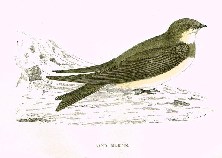 "Rev. Morris's History of British Birds - ""SAND MARTIN"" - H-Col. Eng. - 1865"