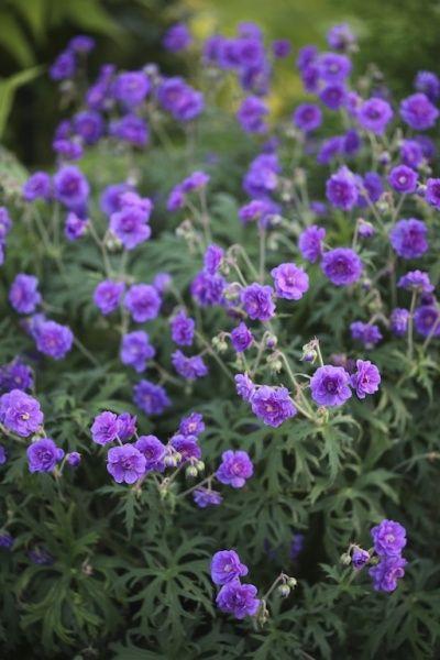 Engstorkenebb - Geranium pratense 'Plenum Violaceum'
