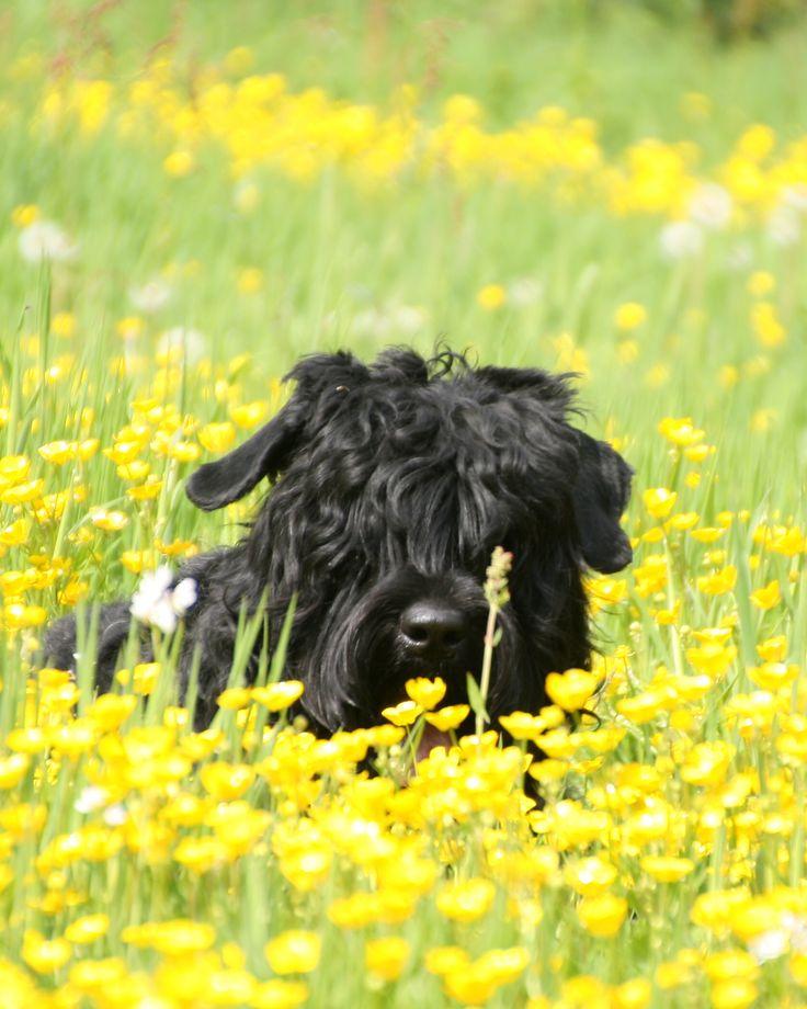 Chernuka from Lukayas's dream (Nika) Zwarte Russische terrier