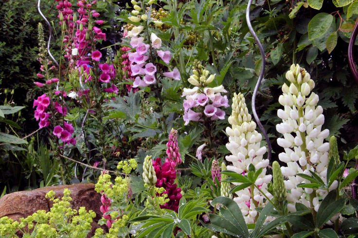 foxgloves and lupins