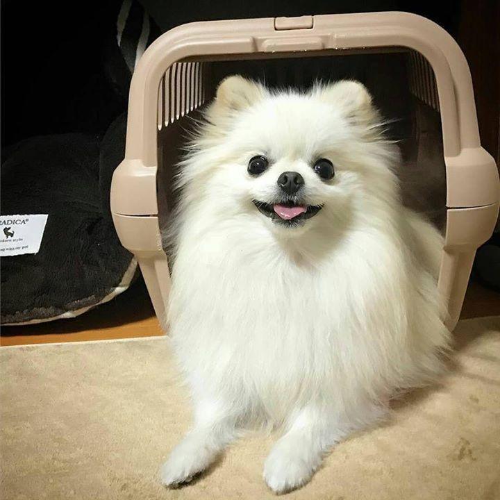 """#Repost @amao1202  """"Crate training"""" When I say """"House"""" Collon enters the crate and sits. And smile   いままでハウス教育を怠っていた飼い主才にしてトレーニング開始だいぶできるようになってきましたコロン賢いっ親バカ   #pomeranian#pomeraniansofinstagram #pomeranians#chihuahua#pompom#fluffydog#dogsofinstagram #dog #ポメラニアン #ポメラニアンが世界一可愛い #犬バカ部 #犬#ふわもこ部 #白ポメ#チビポメ#ハウス#クレートトレーニング#goodgirl#dog"""
