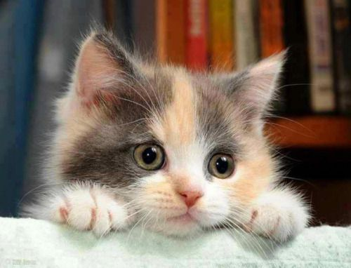 Best Kitty Meow Meow Kitty Meow Images On Pinterest Kitten - Meet the ridiculously fluffy kitty thats more cloud than cat