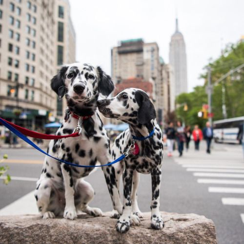 Madison & Finn, Miniature Dalmatians (12 & 5 m/o)