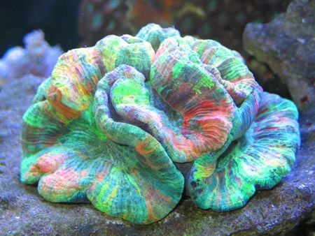 Rainbow Coral (real)