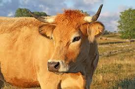 """Résultat de recherche d'images pour """"vache aubrac"""""""