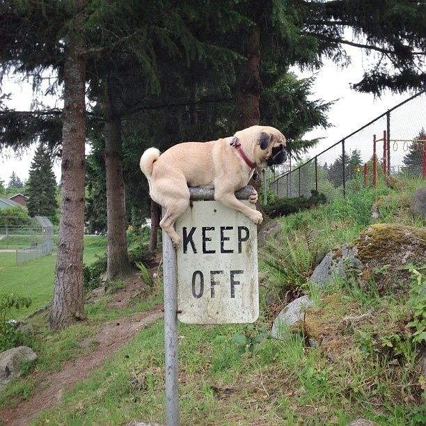 They know when to defy the rules. | 'dorable | Pinterest | Pugs, Funny animals and Dogs